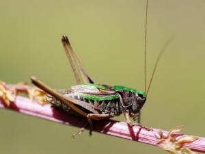 The Bog Bush Cricket is highly specialised and has been slow to expand its range. Photo by Gilles San Martin.