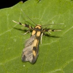 Alder signal moth © Olaf Lellinger