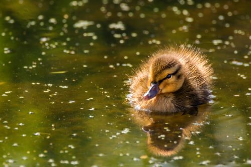 Duckling at Mordern Hall Park, London. ©National Trust Images/ Martin Freeman