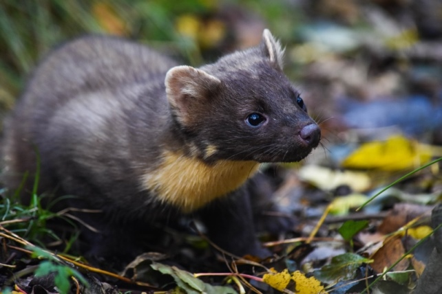 A native pine marten. Credit Dr. Joshua P. Twining.