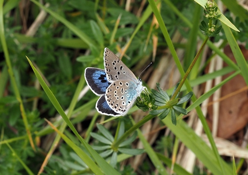 Large blue on Rodborough Common. (Credit Sarah Meredith.)