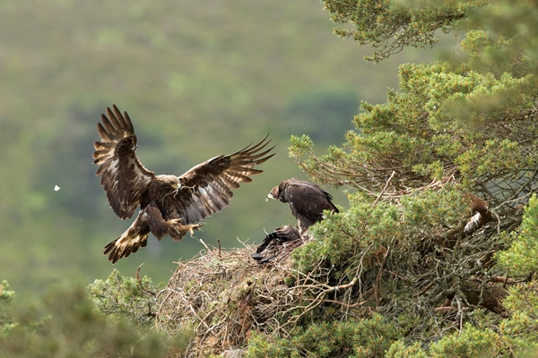 A golden eagle nest in Cairngorms National Park (© Mark Hamblin / scotlandbigpicture.com)