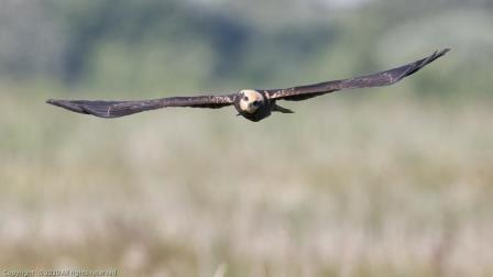 Juvenile marsh harrier ©Richard Nicoll