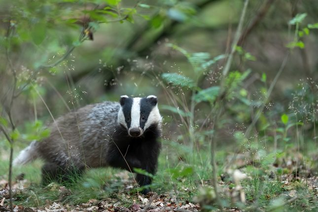 badger (image: unsplash)