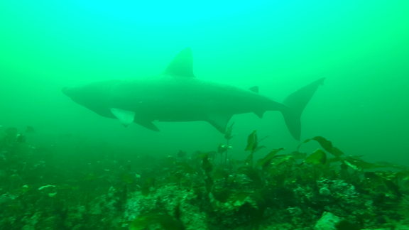 SharkCam basking shark project screenshot 3 ©WHOI