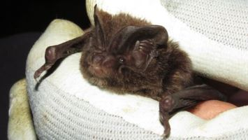 Research has led to the discovery of an extraordinary barbastelle bat 'super-colony', Charlotte Packman