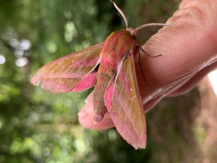 Elephant Hawk Moth. Copyright Guy Riddoch