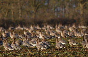 Pink-footed geese. Credit: Natural England