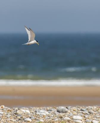 Little tern ©National Trust Images/Ian Ward
