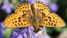 The pearl-bordered fritillary butterfly on a flower Picture: Ross Newham