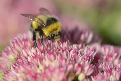 Bumblebee (c) Lorne Gill/SNH