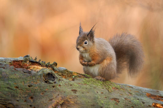 Red Squirrel © Lorne Gill/SNH