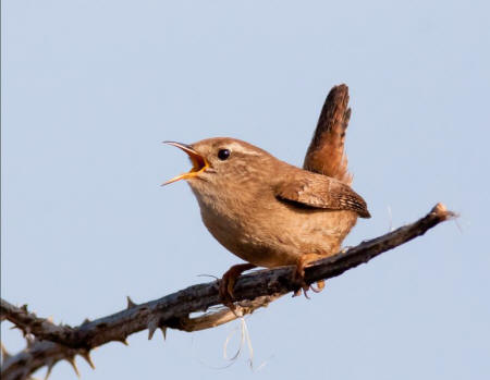 Wren by Alan Drewitt