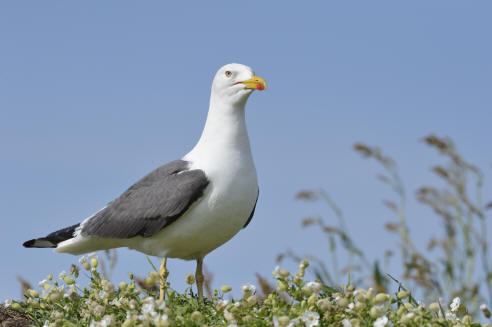 Lesser black-backed gull (image: SNH-Lorne Gill)