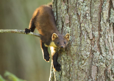Pine marten, Scottish Highlands © Mark Hamblin, scotlandbigpicture.com