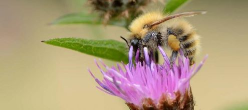 Close up of bee on thistle, ©SNH/Lorne GIll