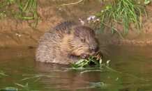 Beavers have brought benefits for humans and wildlife (credit DWT/Mike Symes)