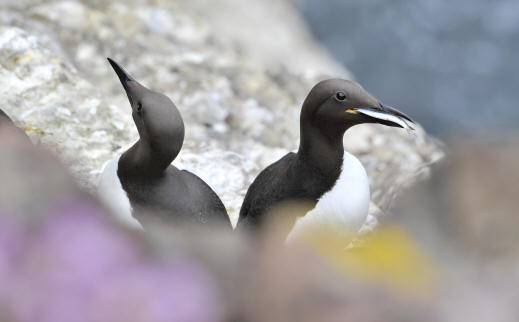 Guillemots at Fowlsheugh ©Lorne Gill / SNH