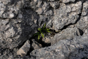 Maidenhair speenwort grows in the grykes of limestone pavement near Orton (image: Yorkshire Dales NPA)