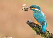 Image: Common kingfisher (Michael Sinclair)