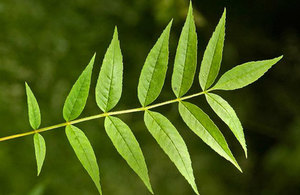 Ash tree leaves. Credit: Forestry Commission.