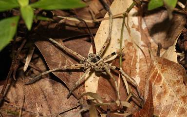 A Malaysian spider, one of the small predators found in the study to be most affected by habitat loss. Credit: Dr Tim Newbold