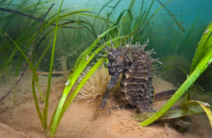 Spiny Seahorse in seagrass. Mark Parry, Natural England.