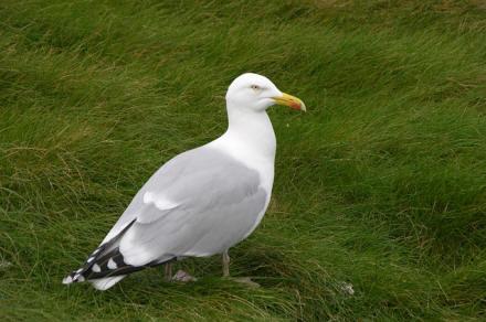 herring gull (image: Ellis / pixabay)