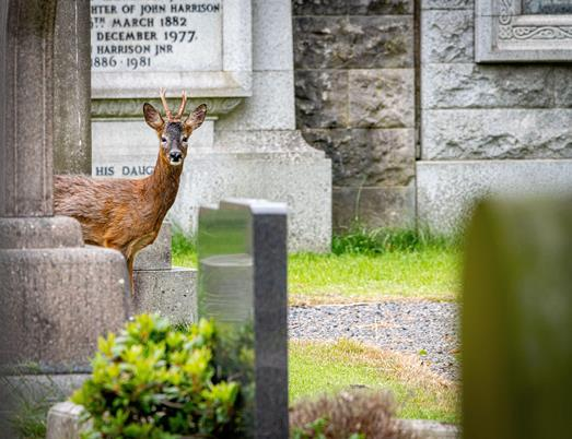 Deer in church graveyard (image: RSPB)