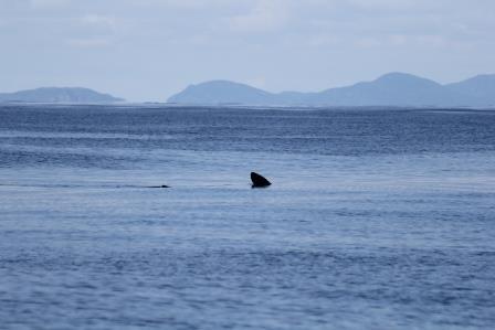 Basking Shark © HWDT