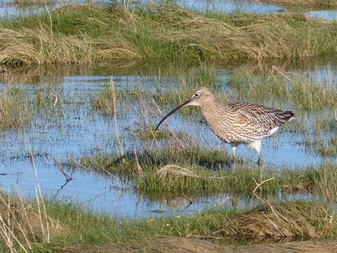 Adult Eurasian Curlew foraging in coastal pools at Aberlady Bay (image: RSPB)