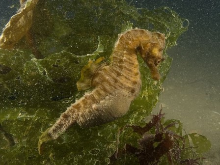 Short-snouted Seahorse © Paul Naylor