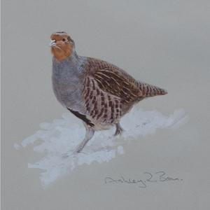Grey Partridge In Snow (Ashley Boon)
