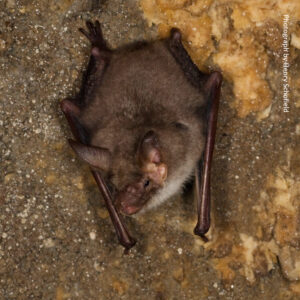 Critically endangered – Greater mouse-eared bat Photo by Henry Schofield