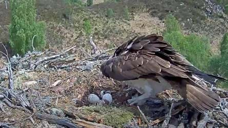 The chick beginning to emerge from the egg on the right as mother Aila watches (Credit: WTML)