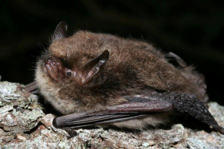 The Alcathoe bat. Photo credit - Cyril Schönbächler
