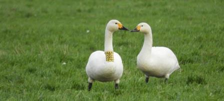 The research was only possible because of the code some swans carry. Sightings of these tagged animals - often by citizen scientists - offer insight into the whereabouts of individual swans and changes therein. In winter, the swans favour areas with an air temperature of 5.5 °C. Source: Bart Nolet/NIOO-KNAW