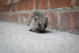 Hedgehog without a home Photo by Tom Marshall