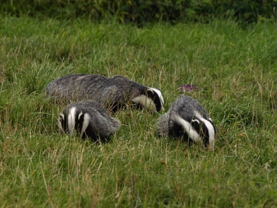 badgers (Greg Newman / pixabay)