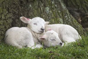 Spring lambs dozing at Ickworth. Credit National Trust Images & Justin Minns