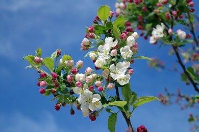 apple blossom (pixabay)