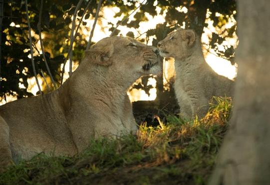 Asiatic lions (credit RZSS)