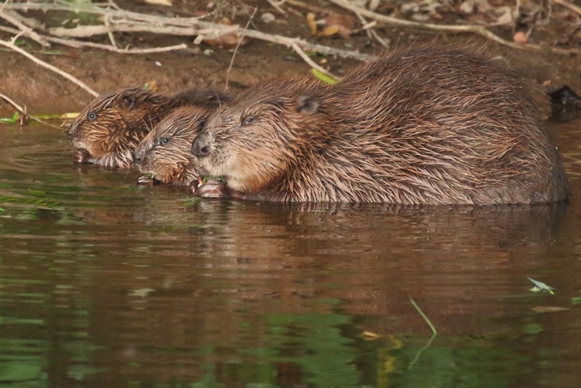 Devon Wildlife Trust beaver female with kits (copyright Mike Symes)