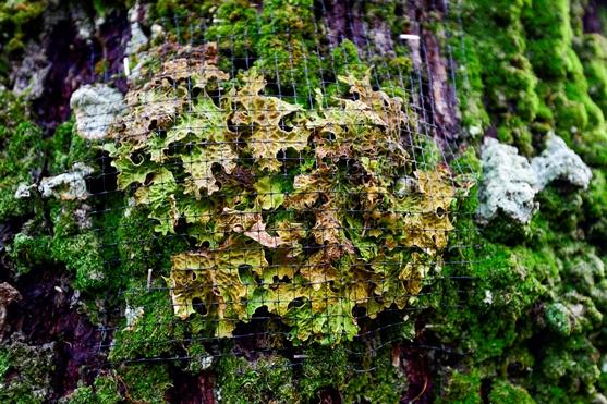 lichen held on tree by black mesh