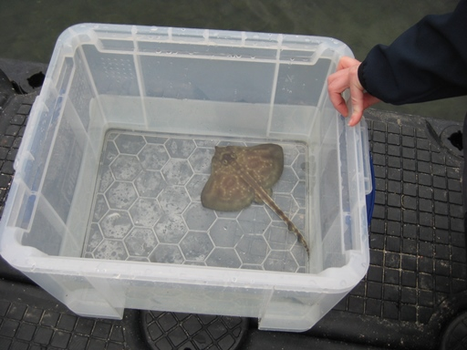 brown coloured baby skate in water filled plastic tub