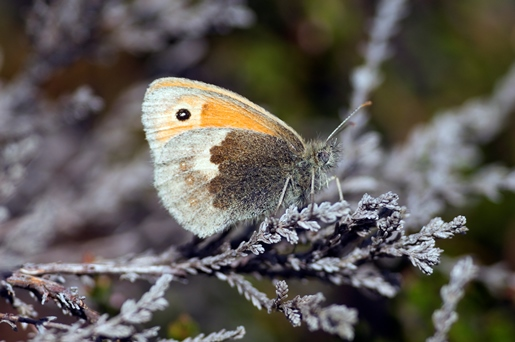 small heath butterlfy resting with wings closed on heather