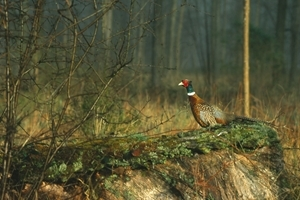 Pheasant Woods (Game and Wildlife Conservation Trust)