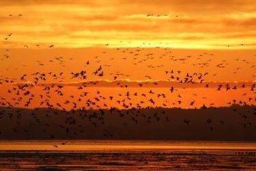 Pink-footed geese at Montrose Basin Wildlife Reserve © Kirsty Wright