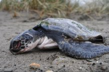 sea turtle lying on a beach Credit: Rod Penrose