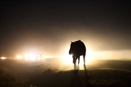 New Forest pony in headlights copyright Russell Sach.